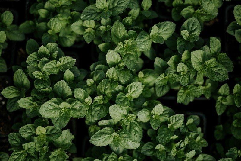 Meleg- és fénykedvelő a bazsalikom, amely akár 40-60 cm-re is megnőhet. Intenzív illata szúnyogűzőként is szolgál.