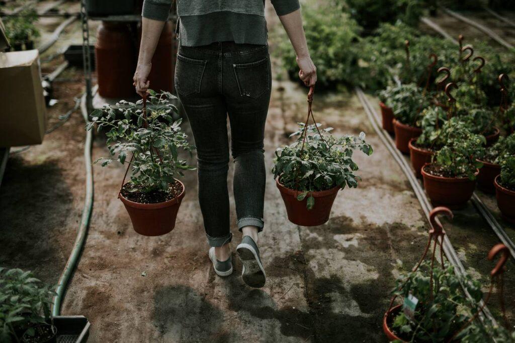 A paradicsom könnyen megterem az erkélyen is, bátran választhatjuk kezdő kertészként is