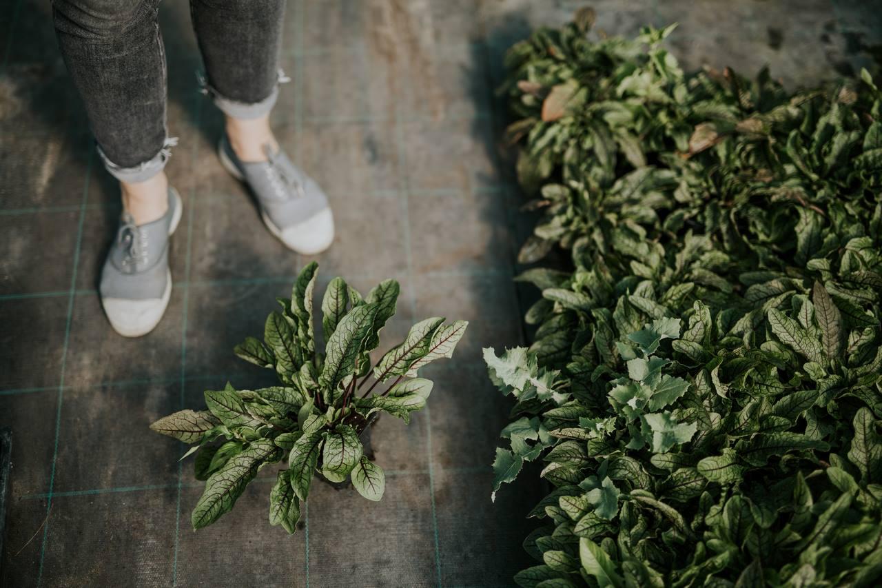 A palántanevelés igazi boldogság: látjuk palántából kifejlett növénnyé nőni, termést hozni a zöldségünket!
